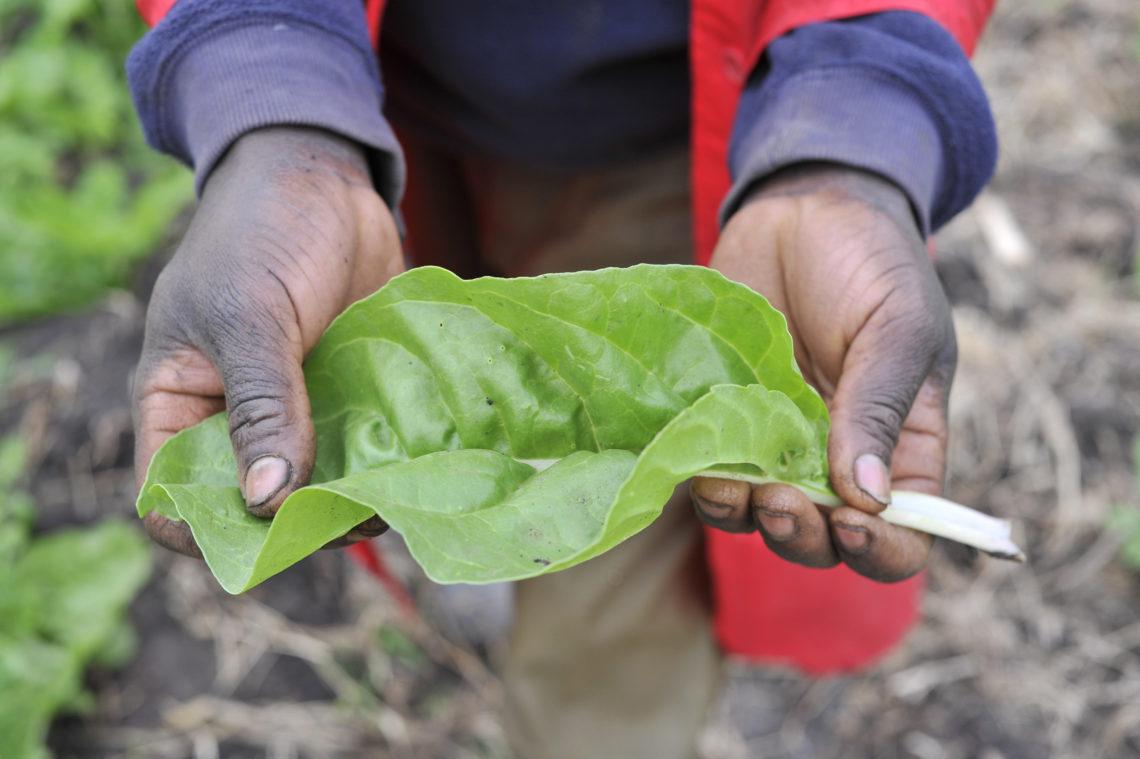 James Nayami's Holding Spinach Leaf