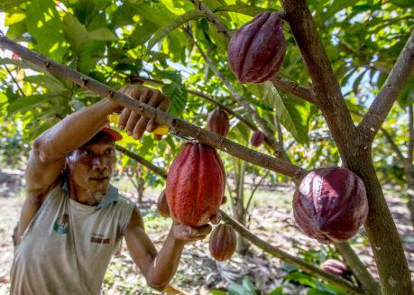 Farmer harvesting coconuts